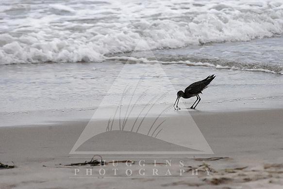Sandpiper at Hatteras