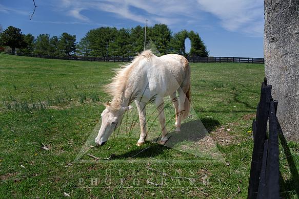 Grazing white horse shakes flies