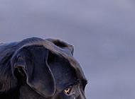 Great Dane profile