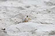Crab peeks at tourists at Hatteras