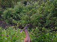 Deer eats tree leaves