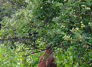 Deer eats tree leaves