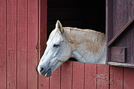 Horse looks out barn