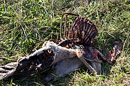 Scavenged whitetail deer