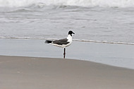 Laughing seagull at Hatteras