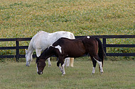 A white and American Paint horse graze.