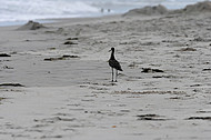 Bird at Hatteras